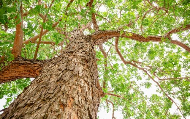 neem-tree-stock