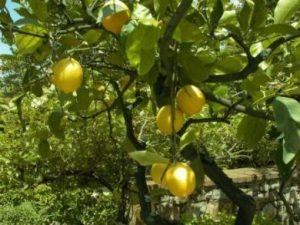albero-limoni-pollice-verde