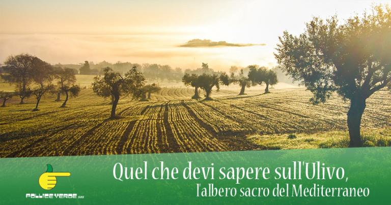 pollice-verde-ulivo-mediterraneo