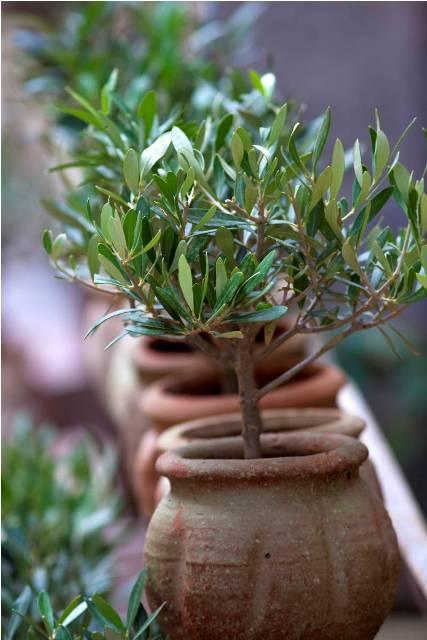 pollice-verde-ulivo-piantare