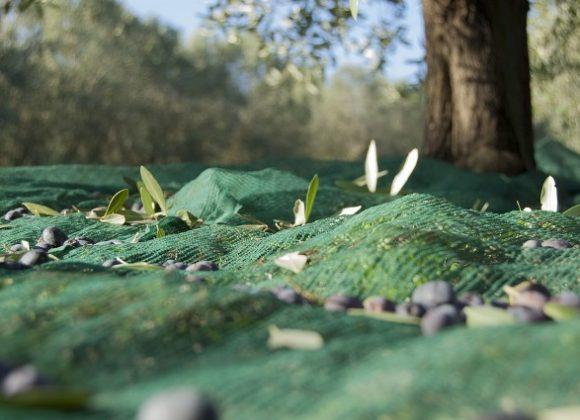 pollice-verde-ulivo-raccolta-olive-580x420