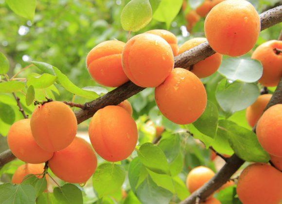 pollice-verde-ragusa-albicocco-maialuoro